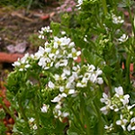 Cochlearia officinalis 150